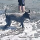 Bruin's first trip to the ocean